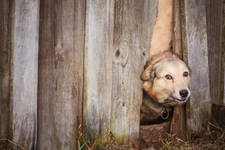 Dog peeking through old wood fence Stock Photo - 17116202