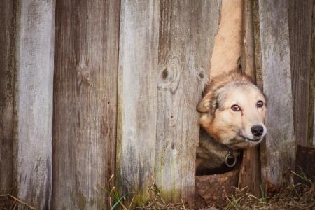 Dog peeking through old wood fence Stock Photo - 17116202