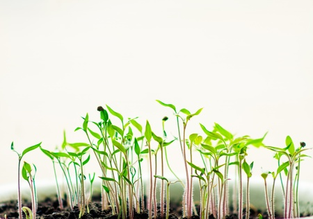 burgeon: plant in a row in the soil. Plant and earth isolated on white background