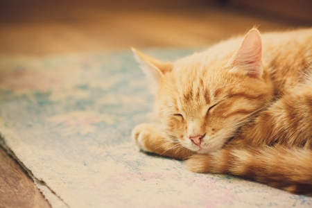 purebred cat: peaceful orange tabby male kitten curled up sleeping