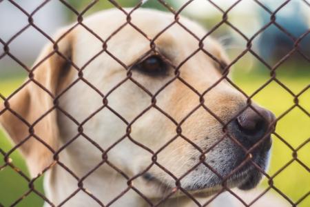 Yellow labrador retriever behind fence
