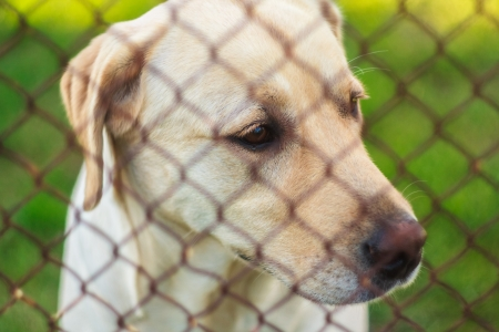 Yellow Labrador Retriever Behind Fence photo