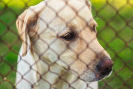 Yellow Labrador Retriever Behind Fence Stock Photo - 18269870