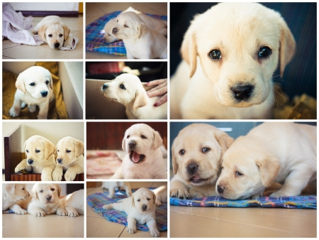 Golden retriever puppy of 7 weeks old  Set, Collage photo