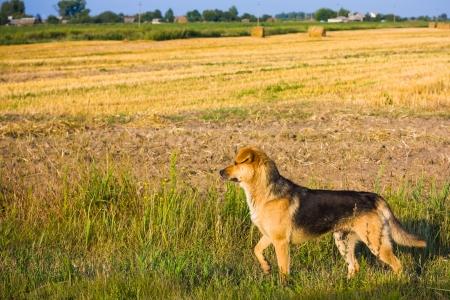 Brown Dog Running In Field Outdoor
