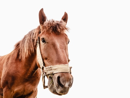 Cavalo de Brown isolado no fundo branco fotografado uma lente grande angular Banco de Imagens