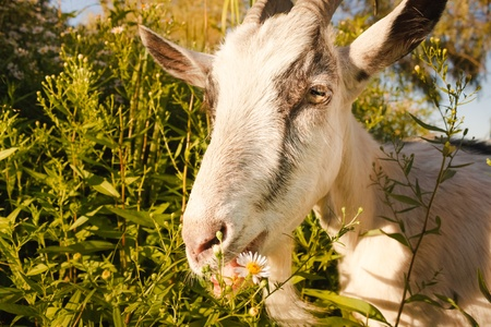 Goat eating a camomiles on a green meadow