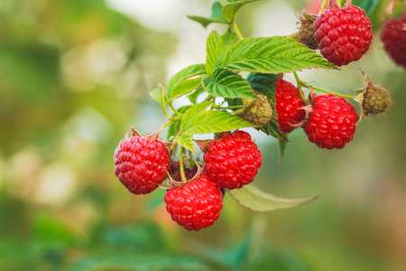 Raspberries. Growing Organic Berries closeup. Ripe raspberry in the fruit garden