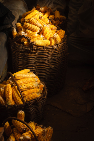 Fresh Yellow Corn in Basket on the dark background. Harvest agricultural concept photo