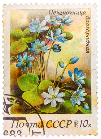 liverwort: RUSSIA - CIRCA 1983: stamp printed in USSR (CCCP, soviet union) shows anemone hepatica (liverwort, kidneywort or pennywort) from spring flowers series, Scott 5150 A2462 10k blue green, circa 1983