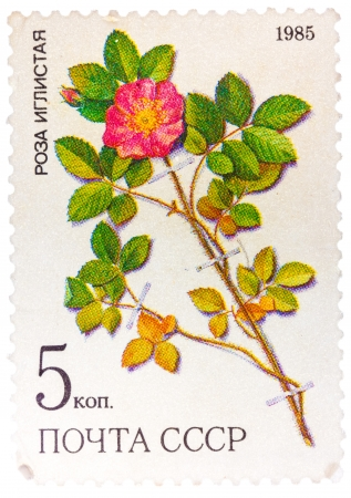 lindi: UNION OF SOVIET SOCIALIST REPUBLICS - CIRCA 1985: a stamp from the USSR (Scott 2008 catalog no. 5381) shows a prickly rose (Rosa acicularis lindi), a medicinal plant from Siberia, circa 1985