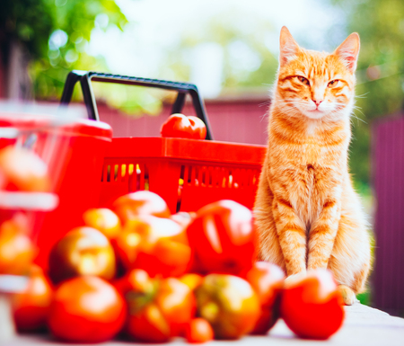 allergic ingredients: Red Fluffy Cat With Fresh Tomatoes Harvest In Baskets Stock Photo