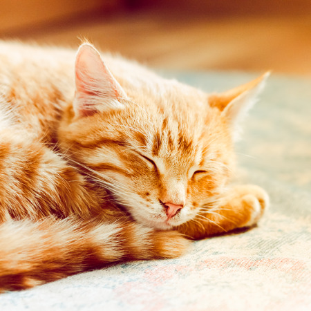 Cat. Little Red Striped Kitten Sleeping On Bed photo