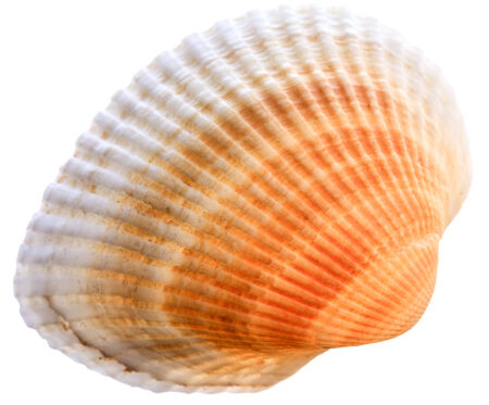 Sea cockleshell isolated on white background. Brown shell Stock Photo
