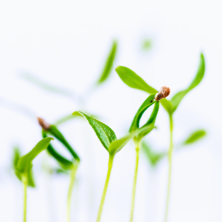 Green sprout growing from seed isolate on white background Stock Photo