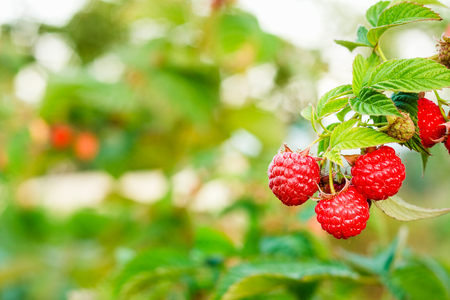 Ripe Raspberry In The Fruit Garden photo