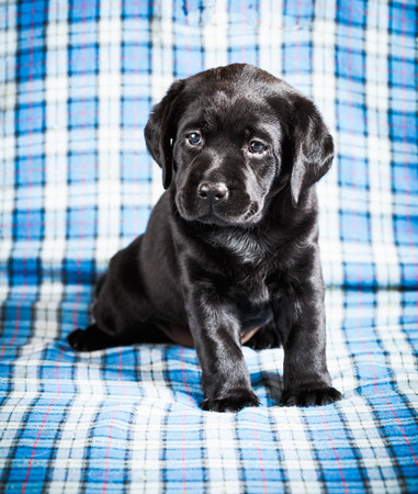 Beautiful Black Labrador Puppy Dog Sitting On Blue Plaid