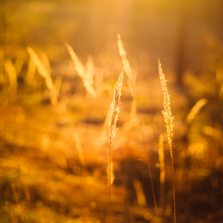 Dry Red Grass Field In Sunset Sunlight. Beautiful Yellow Sunrise Light Over Meadow. Summer In Russia