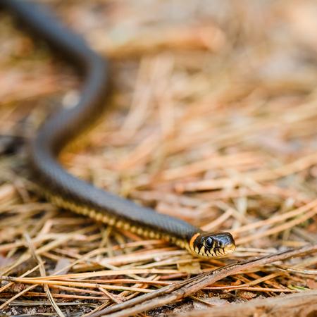 grass snake: Biscia dal collare (Natrix natrix) testa vipera alzando difensiva nella foresta di primavera