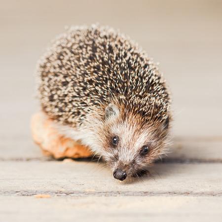 Hedgehog on wooden floor photo