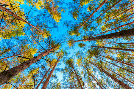 Looking up in spring pine forest tree to the canopy Stock Photo