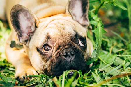Dog French Bulldog lying on the grass photo
