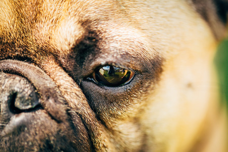 Close up eyes Dog French Bulldog photo