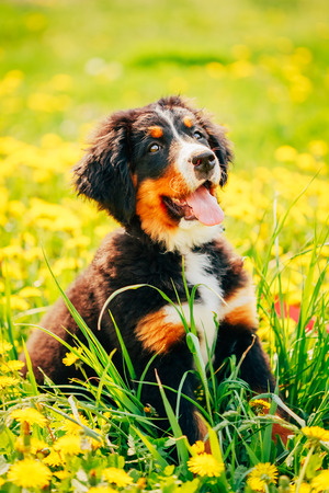 Bernese Mountain Dog (Berner Sennenhund) Puppy Sitting In Green Grass Outdoor photo