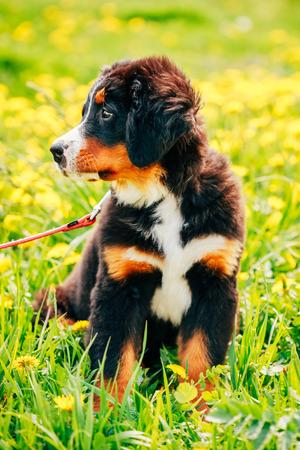 sennenhund: Bovaro del Bernese (Berner Sennenhund) cucciolo seduto in erba verde all'aperto