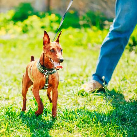 min: Close Up Red Dog Miniature Pinscher (Zwergpinscher, Min Pin) Head Over Green Grass Background