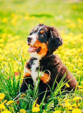 sennenhund: Bernese Mountain Dog (Berner Sennenhund) Puppy Sitting In Green Grass Outdoor