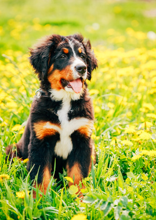 berner: Bernese Mountain Dog (Berner Sennenhund) Puppy Sitting In Green Grass Outdoor