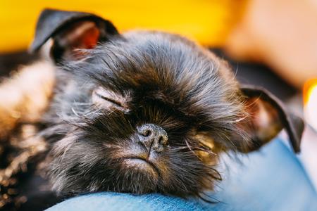 griffon bruxellois: Close Up Black Dog Griffon Bruxellois (Brussels Griffon, Griffon Belge) Sleeping On Womans Lap