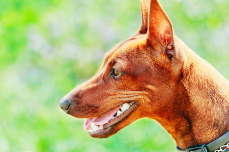 Close Up Red Dog Miniature Pinscher (Zwergpinscher, Min Pin) Head Over Green Grass Background photo