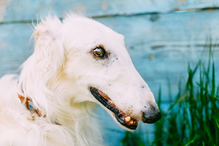 Dog Russian Borzoi Wolfhound Head photo
