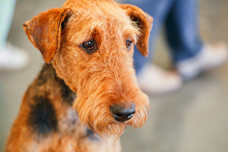 Brown Airedale Terriers dog close up portrait photo