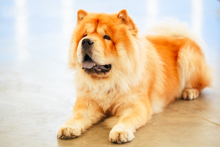 Red Chines chow chow dog close up portrait 스톡 콘텐츠