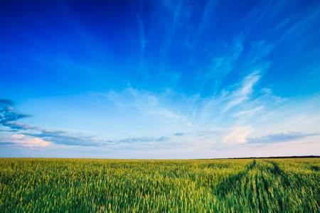 Green field blue sky. Early summer, young sprouts of wheat. Agriculture concept photo