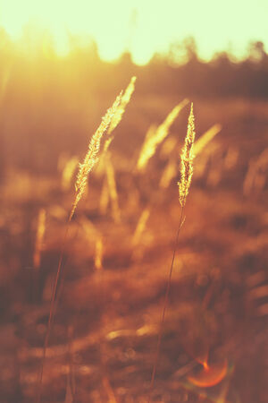 red grass: Dry Red Grass Field In Sunset Sunlight. Beautiful Yellow Sunrise Light Over Meadow. Summer In Russia