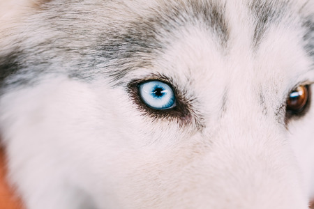 blue eye husky: Close up on blue eye of a husky puppy Eskimo dog