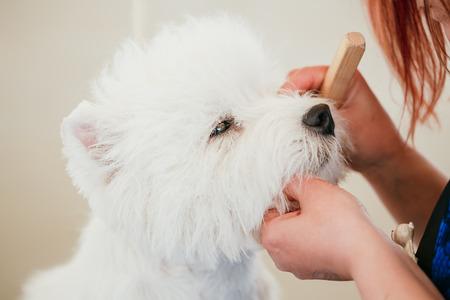 White west Highland White Terrier (Westie, Westy) dog close up portrait