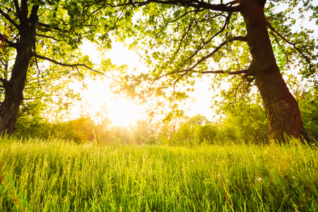 Summer sunny forest old oak trees. Nature green wood sunlight backgrounds.