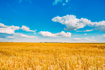 Backdrop of yellow wheat ears field on the cloudy blue sky background. Rich harvest wheat field, fresh crop of wheat. photo