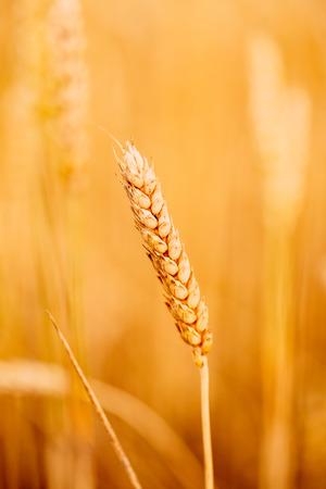 Yellow wheat ears field background. Rich harvest wheat field, fresh crop of wheat ears.