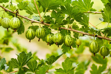 gooseberry bush: Freschi Uva spina verde su un ramo di uva spina Bush Archivio Fotografico