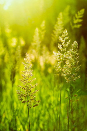 Field Of Green Grass During Sunset. Sunlight Background