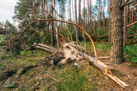 Windfall in forest. Storm damage. Fallen trees in coniferous forest after strong hurricane wind in Russia