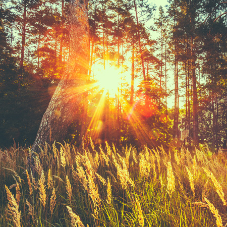 red grass: Dry Red Grass Field In Sunset Sunlight. Beautiful Yellow Sunrise Light Over Meadow. Summer In Russian Forest. Toned Instant Photo