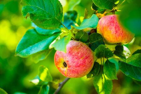 llegar tarde: Manzanas Rojas Frescas En Apple Tree Branch, Manojo, listo para ser cosechado. A finales del verano o principios del oto�o de la cosecha