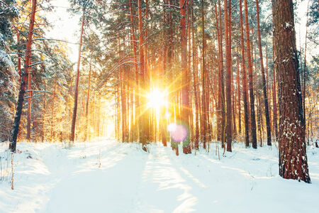 december sunrise: Landscape with winter forest and bright sunbeams. Sunrise, sunset in cold snowy forest